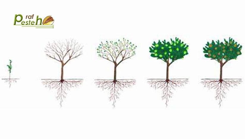 ریشه درختان پسته