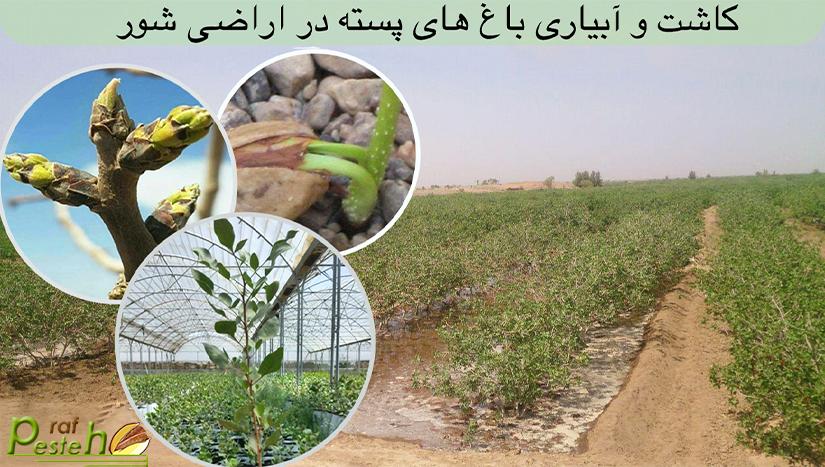 اهمیت کاشت و آبياري درختان پسته در تابستان